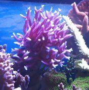 Meerwasser Koralle Hystrix pink
