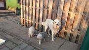 Robuste Herdenschutzhunde abzugeben