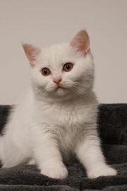 Britisch Kurzhaar und Langhaar Kitten