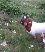 Burenziegen Bock Ziegenbock
