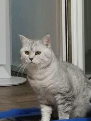 BKH-Deckkater Silver-classic-tabby Ohne Stammbaum