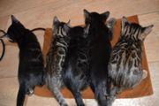 Bengal Kitten mit