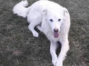 Maremmano junger Rüde Herdenschutzhund Arthur