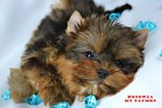 YORKSHIRE TERRIER- OCEAN PERL- mini