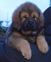 Tibetan Mastiff DO