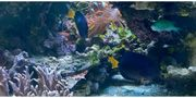 2 Zebrasoma xanthurum Rotmeer Doktorfisch