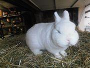 Kaninchen Hermelin Blauauge