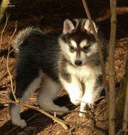 Wunderschöne Husky Welpen suchen ein