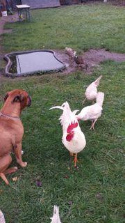 Hühnermist Bio