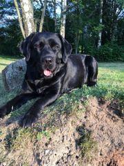Labrador-Welpen (reinrassig,