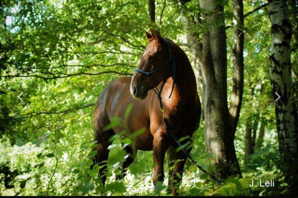 quarterhorse kleinanzeigen pferde kaufen verkaufen bei deinetierwelt. Black Bedroom Furniture Sets. Home Design Ideas