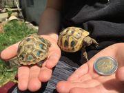 Süße kleine Griechische Landschildkröten THB