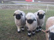 Verkaufe Walliserschwarznasen Schafe