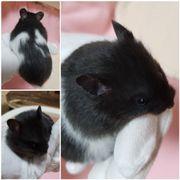 Süße Teddy Hamster