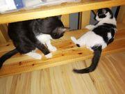 Katzenjunge sucht Familie