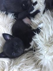 Mini Pomeranian Boo Chihuahua