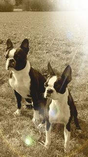 Boston Terrier suchen