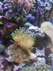 meerwasser meerwasseraquarium Pilz Fiji korallen