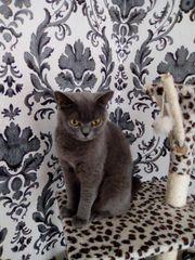 BKH Katze, Kastriert,