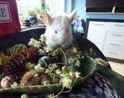 Chinchilla Baby Weibchen-Beige Weiß AVT