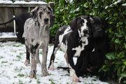 Familienfreundliche Deutsche Doggen