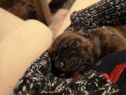 Boxer Saupackermix Babys suchen neues
