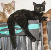 Schwarz-rote Katze /