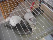 4 Chinchilla Babys