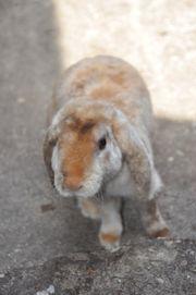 Zwerg-Kaninchen weibl sucht Zuhause bei