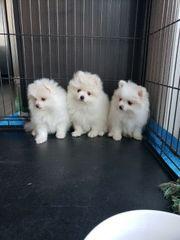 Wertvolle Pomeranian Welpen