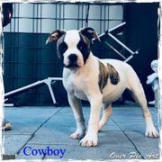 Bulldoggen Welpen