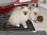 Zwei Birma-Schätzchen suchen neue Kuschelopfer