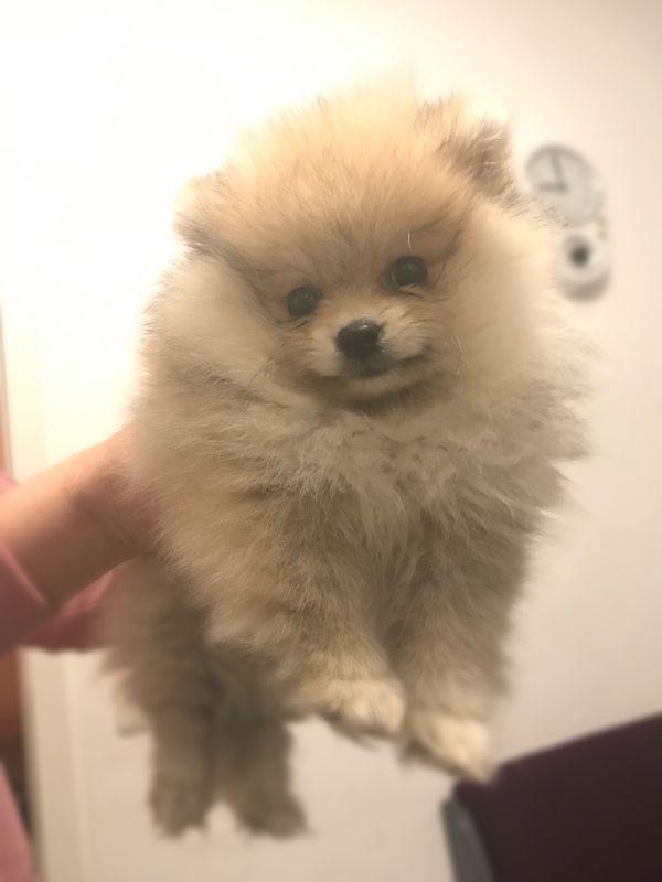 Traumhaft Schöner Teddy Pomeranian Zwergspitz Welpe Mini In