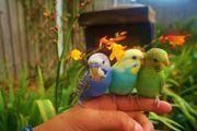 Handzahme Nestjunge Rainbow