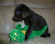LabradorWelpen braun reinrassig --- noch