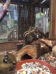 Junge handzahme Streifenhörnchen