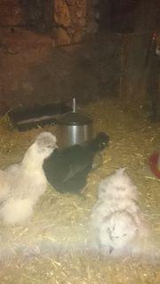 Zwergseidenhühner/Seidenhühner