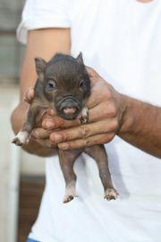 Minischweine zu verkaufen