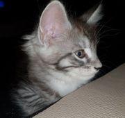 Reinrassige Maine Coon Katzenbabys ohne