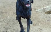 Bessie, liebe Labrador-