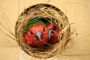 Rotköpfige Papageiamadinen , Zuchtpaar