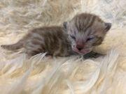 Bengal Kitten bei Pure Passion