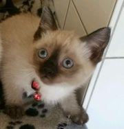 Siam Katze Mädchen