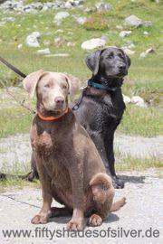 Labradorwelpen Wurfankündigung