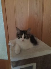 Maine Coon Kater,