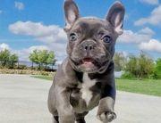 Französische Bulldoge Welpen mit Annentafel