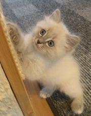 Mix Kitten junge,