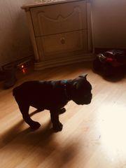 französisch Bulldog