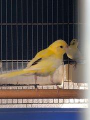 Kanarien Vögel