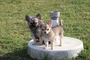 Chihuahua Welpen vom Züchter suchen